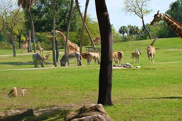 busch gardens in tampa. Busch Gardens Tampa Serengeti Plain In